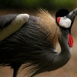 Black Crowned Crane: The Ultimate Guide