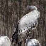 Cape Vulture: The Ultimate Guide