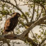 Long Crested Eagle: The Ultimate Guide