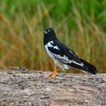 Pied Harrier: The Ultimate Guide