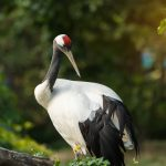 Red-Crowned Crane: The Ultimate Guide