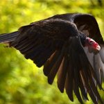Red-Headed Vulture: The Ultimate Guide