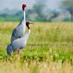 Sarus Crane: The Ultimate Guide