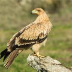 Spanish Imperial Eagle: The Ultimate Guide