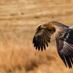 Steppe Eagle: The Ultimate Guide