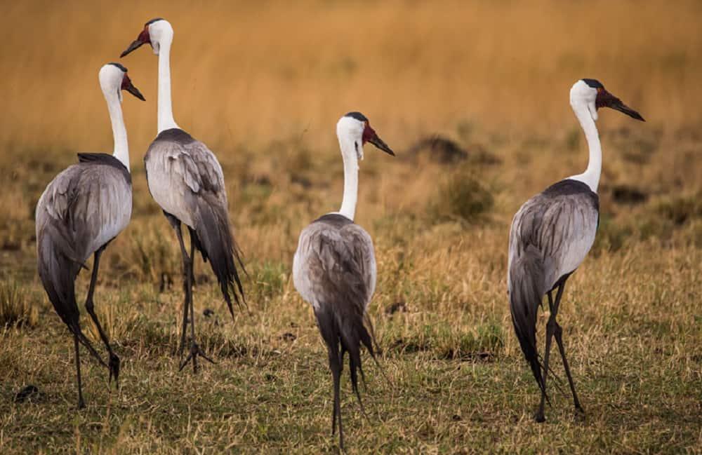 Wattled Crane