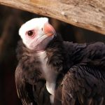White-Headed Vulture: The Ultimate Guide