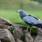African Harrier-Hawk: The Ultimate Guide