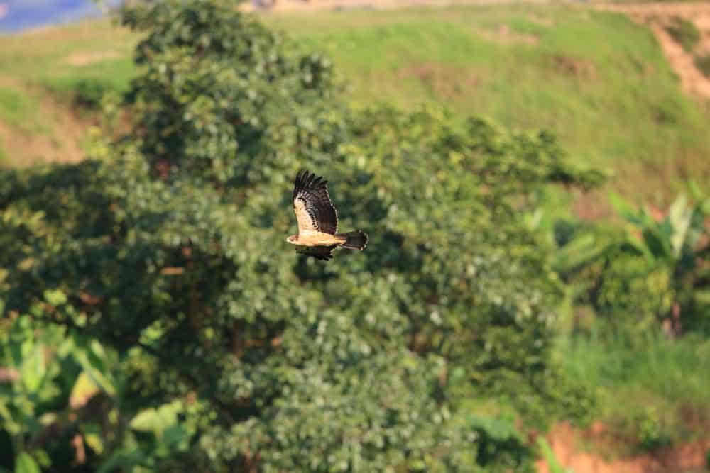 Ayres' Hawk-Eagle