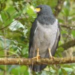 Barred Hawk: The Ultimate Guide