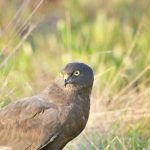 Black Harrier: The Ultimate Guide