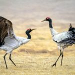 Black-Necked Crane: The Ultimate Guide