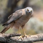 Collared Sparrowhawk: The Ultimate Guide