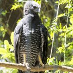 Crested Eagle: The Ultimate Guide