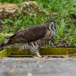 Crested Goshawk: The Ultimate Guide