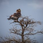 Crowned Hawk-Eagle: The Ultimate Guide