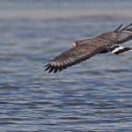 Cuban Black Hawk: The Ultimate Guide