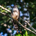 Double-Toothed Kite: the Ultimate Guide