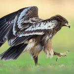 Greater Spotted Eagle: The Ultimate Guide