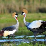 Grey Crowned Crane: The Ultimate Guide