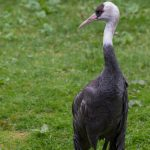 Hooded Crane: The Ultimate Guide