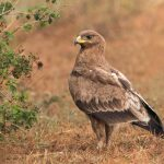 Indian Spotted Eagle: The Ultimate Guide