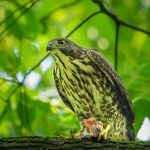Japanese Sparrowhawk: The Ultimate Guide