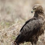 Lesser Spotted Eagle: The Ultimate Guide