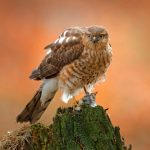 Little Sparrowhawk: The Ultimate Guide