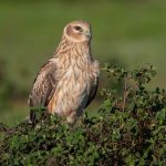 Montagu's Harrier: The Ultimate Guide