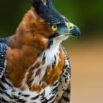 Ornate Hawk-Eagle: The Ultimate Guide