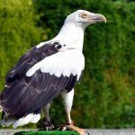Palm-Nut Vulture: The Ultimate Guide