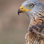 Red Goshawk: The Ultimate Guide