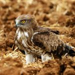 Short Toed Snake Eagle: The Ultimate Guide