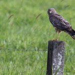 Spotted Harrier: The Ultimate Guide