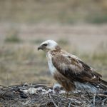 Upland Buzzard: The Ultimate Guide