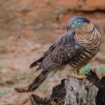 Hook Billed Kite: The Ultimate Guide